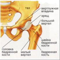 Ядро окостенения тазобедренного сустава замена коленного сустава в казани цена
