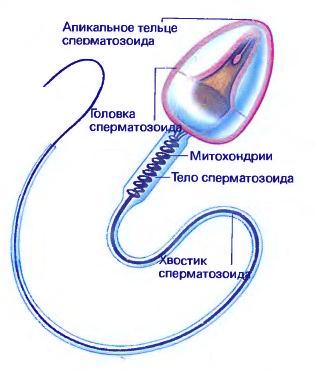 vidi-dvizheniya-spermiev
