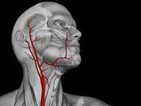 Сонная артерия – один из важнейших кровеносных сосудов в организме